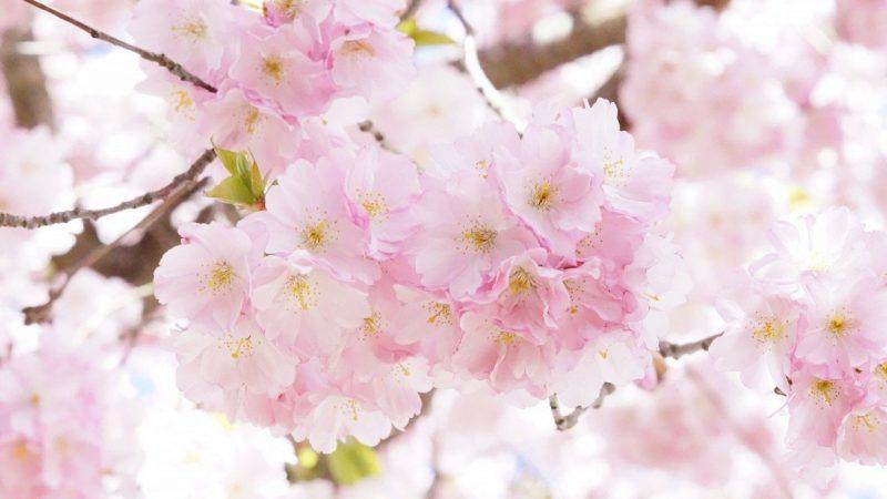 第31回 陶郷中尾山 桜陶祭 3月30日(土) 31(日) 開催!
